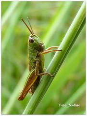 Meadow Grasshopper - Explored (Nadine V.) Tags: lumix panasonic explore grasshopper nophotoshop orthoptera sauterelle sprinkhaan acrididae gomphocerinae chorthippusparallelus meadowgrasshopper krasser veldsprinkhaan notinourgarden fz38 panasonicdmcfz38 rechtvleugeligen