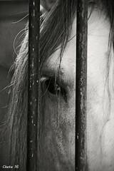 White horse (photoschete.blogspot.com) Tags: horse white eye blanco monochrome sepia canon caballo ojo eos monocromo blackwhite sigma campo blanconegro virado hipica 70d