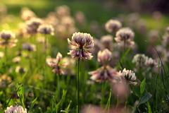 clover study (joy.jordan) Tags: clover flowers grass bokeh blur light 52by52