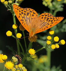 """Argynnis paphia"" - keizersmantel (bugman11) Tags: flowers orange flower macro nature animal animals yellow fauna canon butterfly bug insect flora nederland thenetherlands butterflies insects bugs 1001nights catterpillar catterpillars argynnispaphia thegalaxy keizersmantel 100mm28lmacro"