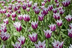 Tulip (gregork.) Tags: spring maj tulipan 2013 pomlad mozirje mozirskigaj