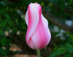Find time each day to see beauty and love in the world around you. (careth@2012) Tags: tulip unforgettableflowers thebestofunforgettableflowers weloveallflowers