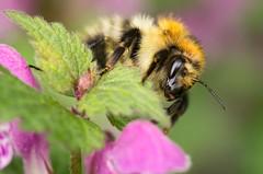 Fuzzy (Who Is Frodo?) Tags: macro insect spring bokeh 100mm bumblebee makro insekt manualfocus trier frühling hummel dumbledore deadnettle taubnessel wiltingen manuellerfokus pentaxk5