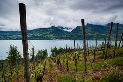 Walensee: The Vines (jaeschol) Tags: lake water fruits switzerland vines wasser sony alpen moutain reben wein quinten walensee a900