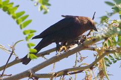 Brown-headed Cowbird (Finatic 's iNaturalist Stream) Tags: brownheadedcowbird