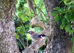 Jay in my garden at last (clare.blandford) Tags: jay wiltshire teleconverter gardenbirds