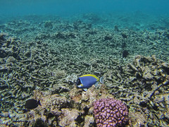 Surgeonfish (dataichi) Tags: ocean travel fish tourism island underwater indian diving snorkling destination seychelles indien gopro sechelles