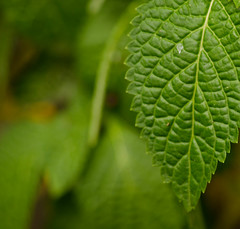 Perfect Imperfections of a leaf (r.Mb) Tags: plant green closeup leaf stem aperture nikon telephoto ghana accra blurredbackground d5100