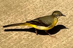 Eden 2013_D5-12950 (Ennor) Tags: uk bird june cornwall unitedkingdom edenproject eden kernow 2013 rainforestbiome