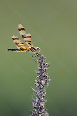 Halloween Pennant-47545.jpg (Mully410 * Images) Tags: bug insect dragonfly mullein halloweenpennant tcaap tcaapwva ahatswildlifeobservationarea