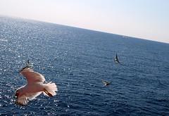 got it! (Apostolis Giontzis) Tags: sea seagulls birds gulls seabirds
