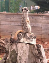 Meerkat (laufar1) Tags: canon digitalcamera thechallengefactory yorkshirewildlifepark