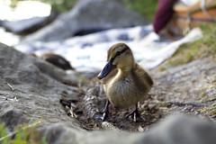 Picnic Invader (tj.blackwell) Tags: summer baby lake macro cute bird closeup switzerland duck europe picnic wildlife young ducklings lucerne waterside lakelucerne