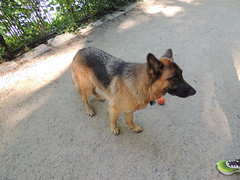 DSCN0022 (rlg) Tags: dog animal female mammal august tuesday germanshepherd 06 gs fpr 0806 2013 zorah nikonp510 201308 08062013 20130806 20130805