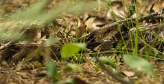 Snake-eye (Robert Sinclair) Tags: pine newjersey sand cranberry crop swamp bog scrub pinebarrens timberrattlesnake snakeeye crotalushorridus forchrisp mediumphase