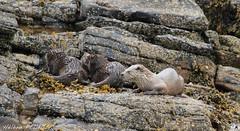 Noss_162 (Hélène Peltier) Tags: shetland lutralutra europeanotter nossisland