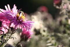 little bee (annkathrinxx) Tags: summer yellow sommer lila bee gelb blume kontrast schwarz biene canoneos50d