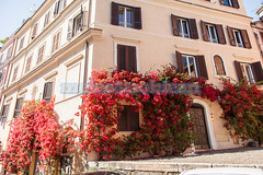 Red bougainvillea (melastmohican) Tags: residence beautiful bloom blooming blossom bougainvillea bright building bunch center city color colorful decoration decorative downtown flower green house italy mediterranean nature nobody outdoors plant pretty red rome stone summer tropical vine wall lazio