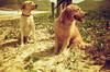 Juca & Jujuba (thais mr.) Tags: golden labrador kodak grumari redscale kodakcolorplus200 yashicamf3