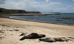 Sea lions, Waipapa Point (Vendin) Tags: newzealand public southisland sealions aotearoa southland waipapapoint otara
