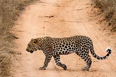 Leopard Walking Past (James Simison) Tags: wild game nature grass animals cat southafrica big october feline wildlife safari spots bigcat stealth hunter predator thornybush rosettes lightroom bigfive big5 agile pantherapardus canonef100400mmf4556lisusm canon7d toppredator waterbuckgamereserve