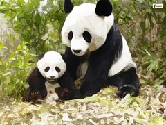 Panda animal picture (Infoway LLC - Website Development Company) Tags: wallpaper beautiful wonderful nice superb awesome images exotic redpanda watercolour hd incredible breathtaking classy mindblowing pandacub wildbear lazypanda pandaeatingbamboo animalwallpaper mobileappdevelopment pandabearcloseup mobileapplicationdevelopmentindia pandabearimage extremecutepandabear sleepingpandabear pandaandbaby bearswallpaper blackandwhitepandabear beautifulpandawallpapers asianredpandabear pandaanimalpicture pandabeareatinggrass pandabearinwintersnow whitepandabear twopandasinatree verycutepandabear grasspandabear pandabearnearlake pandabearinforest pandabeargroup oldpandabear babypandabearonatree