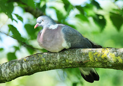 Wood Pigeon (Columba palumbus) in a Tree at WWT Llanelli (Steve Greaves) Tags: bird nature wales branch sitting pigeon dove wildlife naturalhistory llanelli sit perch perched common wwt woodpigeon columbapalumbus nikond300