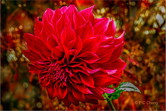 Ravishing....... (P C Chang) Tags: dahlia autumn red usa flower fall beautiful oregon canon garden eos flora zoom blossom september flame telephoto passion bloom burst spartacus 2012 ravishing recreational sumptuous 70mm200mm canon60d pcchang