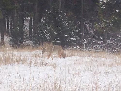 Erster Wolf in freier Wildbahn