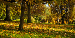 Hyde Park (Low view) (hobbitbrain) Tags: park uk autumn england tree london fall leaves leaf hydepark