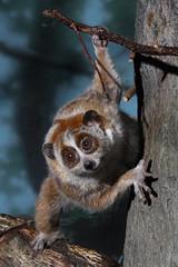 Slow Loris (Mark Dumont) Tags: animals zoo slow mark cincinnati dumont loris explored