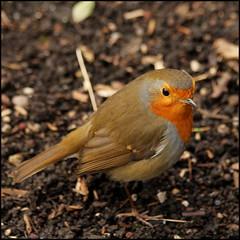 Robin at my feet (catb -) Tags: ireland dublin bird robin erithacusrubecula fa botanicgardens
