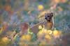 Mongoosio ([[BIOSPHERE]]) Tags: flowers yellow southafrica kalahari yellowmongoose kmp snakebite devilthorn mongoosio