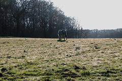 Illegal horse in the morning (Elise Swart) Tags: horses horse france animal animals cheval country meadow meadows frankrijk wei animaux fr campagne dieren dier weiland lafrance chevaux paard paarden prs platteland pr grazen illegaal ldf weilanden