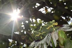 Resplandor (Pitt_87) Tags: naturaleza flores flower flor radiance passionfruit neture resplandor maracuy