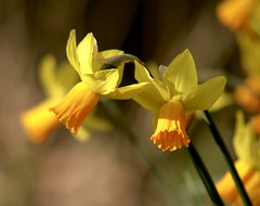 2 Heads.. (Adam Swaine) Tags: county uk flowers england macro green english beautiful yellow canon photography petals spring flora britain counties 2014 naturelovers swaine thisphotorocks thebestyellow adamswaine mostbeautifulpicturesmbppictures wwwadamswainecouk