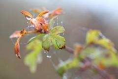 Wet Web (Katka S.) Tags: autumn mist detail macro fall net leaves misty fog leaf drops republic czech web drop moravia morava