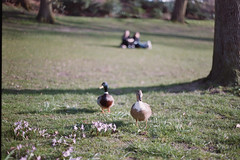 people & ducklings (daneesaur) Tags: park analog 35mm germany ducks ducklings olympus om10 lolita analogue bielefeld daneesaur