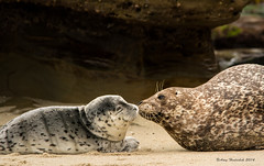 Kisses from Mom (Happy Photographer) Tags: california baby mom kisses lajolla newborn harborseal harborsealpup happyphotographer amyhudechek