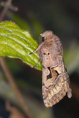 Buemerket seljefly Orthosia gothica (Eivind Nielsen) Tags: lepidoptera gothica orthosia