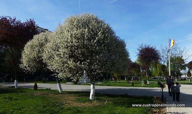 Arboles florecidos en el parque de Hunedoara. No se que son pero son preciosos