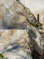 """Stonehopper"" ;) Morocco (just_me78) Tags: macro nature animals closeup insect tiere natur grasshopper makro insekt heuschrecke gx7"