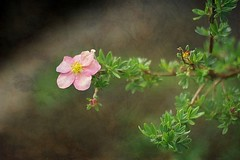 A fragile flower (mamietherese1) Tags: ngc textures soe autofocus innamoramento world100f phvalue 200v200c2000v fleursetpaysages exoticimage netartii