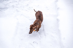 Snowy Weenie (pgh_shutter) Tags: white snow cold hotdog nikon pittsburgh snowy snowstorm icy wienerdog weenie snowday lightroom weeniedog tamron2470 nikond810 dachshundsnow pittsburghsnowstorm tamron2470f28 januaryinpittsburgh weeniesnow