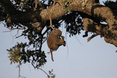 Baboon Hanging By a Thread