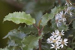 mountain holly - Olearia ilicifolia (Steve Attwood) Tags: newzealand flower tree canon whiteflower shrub asteraceae rakiura floweringtree stewartisland ulvaisland floweringshrub olearia treedaisy oleariailicifolia rakiuragreatwalk