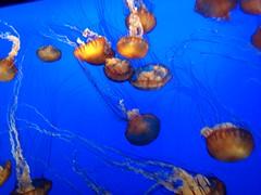 IMG_0719 (cheryl's pix) Tags: california aquarium monterey jellies jellyfish montereybayaquarium canneryrow montereyaquarium montereyca