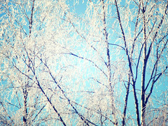 Whispering trees (mintukka) Tags: trees winter light nature soft snowy branches birch birches