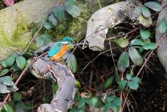 Kingfisher - For mum (Squatbetty) Tags: kingfisher leedsliverpoolcanal istillgetexcitedwheniseethesebeauties