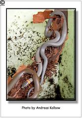 Scales Reptiles 08-2014 (42) (Vogelfoto69) Tags: africa nature bug asien snake beetle bart haus andreas frog lizard american scales otter afrika gecko australien amerika frosch terrarium schlange skink kfer echse zwerg schildkrte eidechse natter krte anolis chamleon agame wrgeschlange naturfoto williamsi eidechsen rhampholeon terraristik kppe naturfilm kalbow vogelfoto69 stummelschwanz krtenechse naturfilmer naturfotograph lygodacthylus scalesreptiles